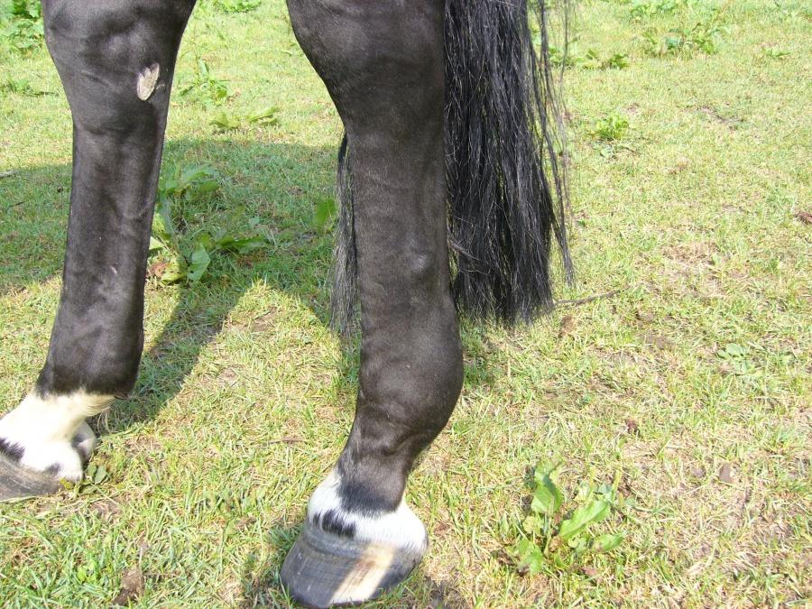 Rabatt-Sammlung zarte Farben viele modisch Sehnenschaden lateraler Fesselträgerschenkel - Forum Pferd.de