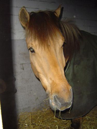 pferd von odin