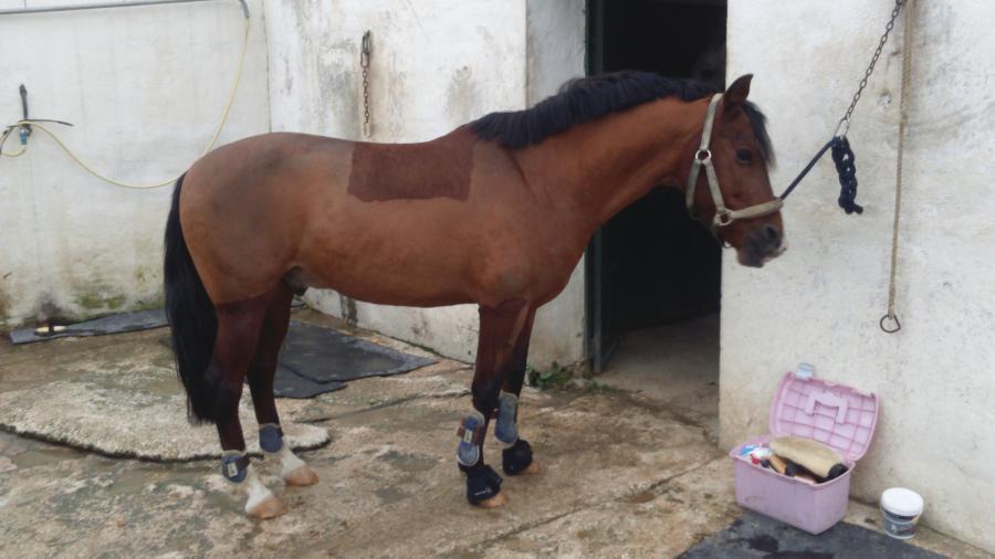 Frisuren Für Pferde Mit Kurzer Mähne Frisur Frisur